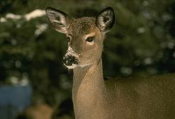 photo of deer, wildlife, software,
