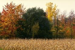 Photo of fall cornfield, 
